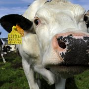 Genetically modified super cows are resistant to tuberculosis
