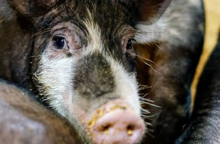 Microsoft's pig wrangling competition is teaching AI's to cooperate