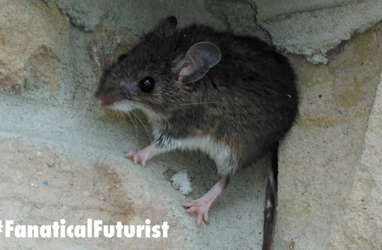 Scientists use magnetism to remotely control mice