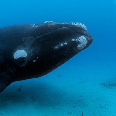 Scientists use facial recognition to create a Facebook for whales
