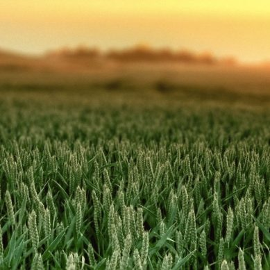 Photosynthesis breakthrough crams millions of years of plant evolution into months