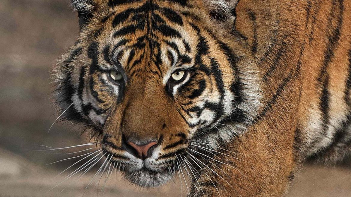 Scientists publish a plan to bring back the extinct Caspian Tiger