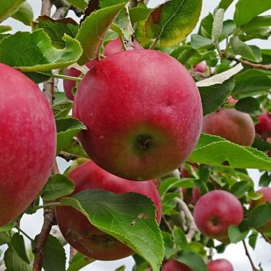 Meet the new harvesting robots that can pick 10,000 apples an hour